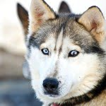 Siberian husky, dog-sledding, quebec, winter