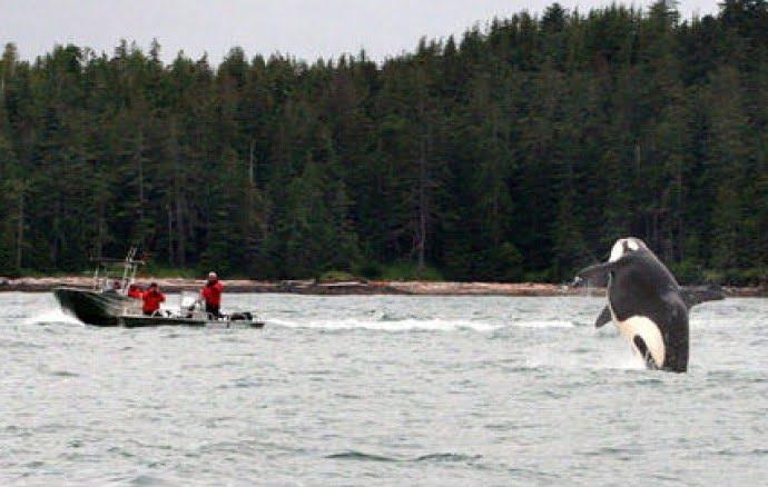 haida-gwaii-killer-whale-qcl
