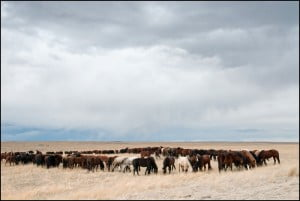 field-of-horses-calgary-stampede-ranch
