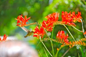 butchart-gardens-hummingbird