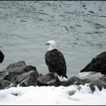 Eagles Squamish