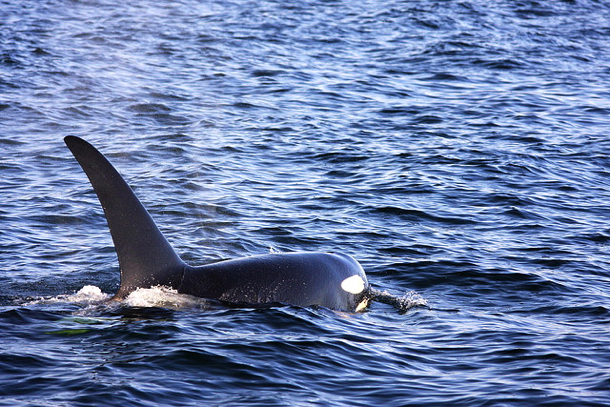 orca-bc-ferries