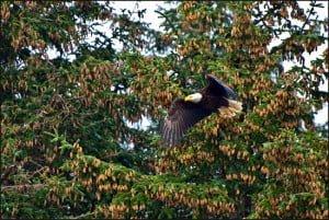 bald-eagle-british-columbia