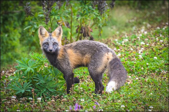 I spotted this curious fox in Cavandish, PEI. (Julia Pelish/Vacay.ca)