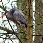 heron-in-trees-vancouver