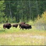 Bison, Prince Albert National Park Saskatchewan