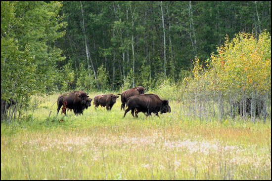 Bison, Prince Albert National Park Saskatchewan