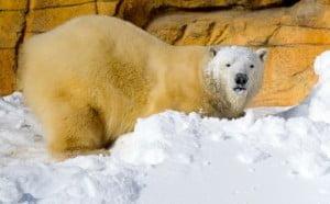 Assiniboine Zoo polar bear winnipeg