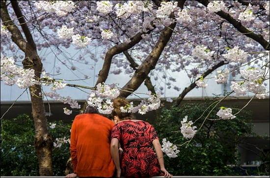 Cherry Blossom festival, vancouver, spring