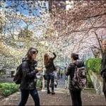 Cherry Blossom Festival, Vancouver, spring, Akebono cherry trees