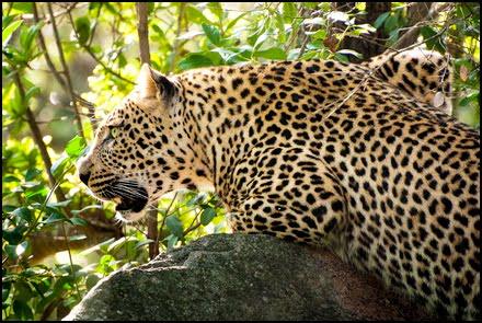 leopard-kruger-park-safari