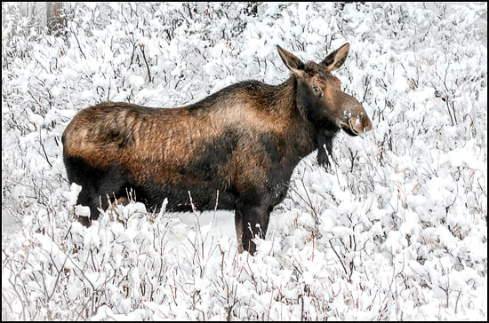 moose-jasper-national-park-alberta-snow