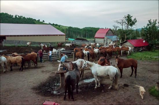 anchor-d-morning-cowboy-trail-horses-alberta