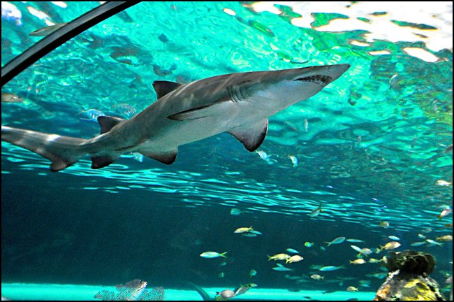 shark-ripleys-aquarium-toronto