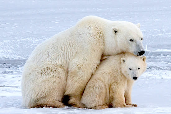 Polar-Bear-and-Cub-Churchill-Manitoba