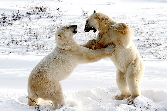 Polar-Bears-Sparring-Churchill-Manitoba