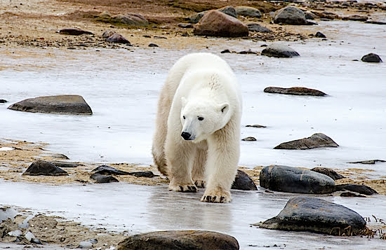 polar-bear-Churchill-manitoba