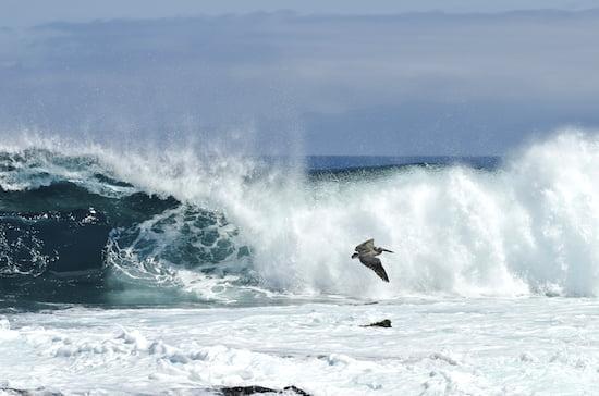 pelican-galapagos-islands-julia-pelish