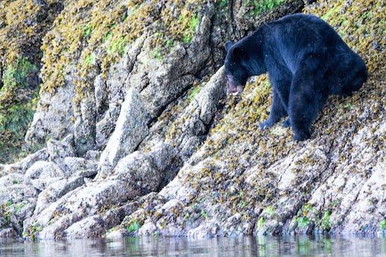 black-bear-near-shore-on-a-rock-tofino-bc