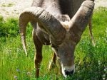 bighorn-sheep-radium-hot-springs