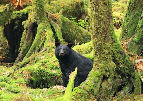 black-bear-haida-gwaii