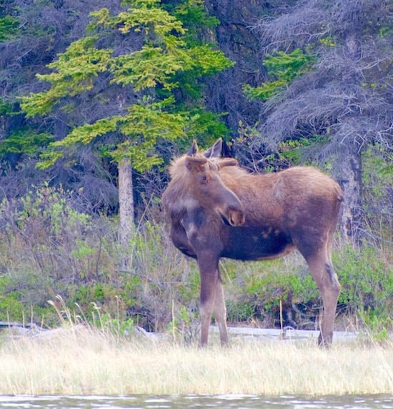 moose-looking-back-at-kluane-national-park-yukon small