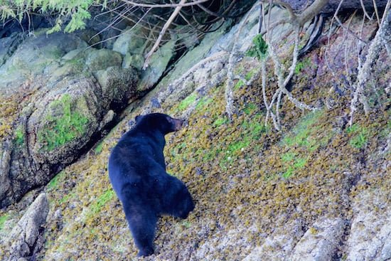 bear-cub-in-tofino