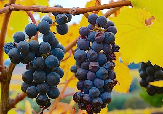 willamette-valley-vineyards-grapes