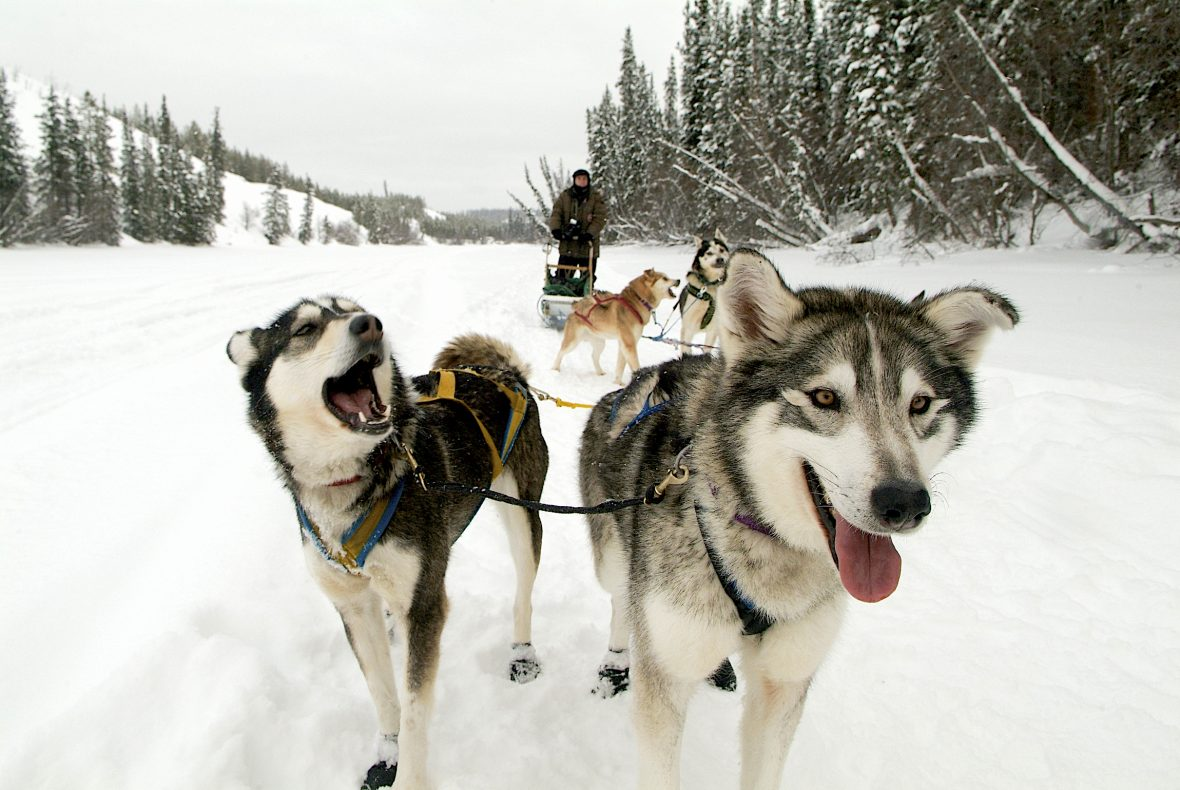 Muktuk-Kennels-Dogsledding-Tour