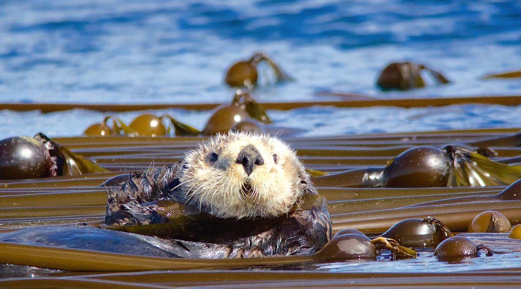 sea-otter-victoria-bc