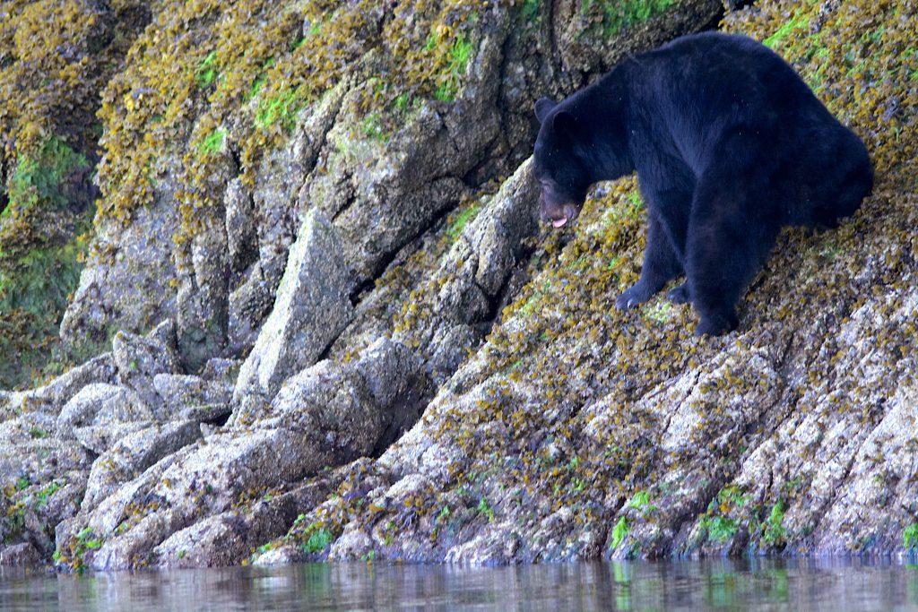 black-bear-tofino