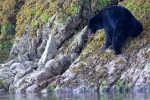 black-bear-tofino
