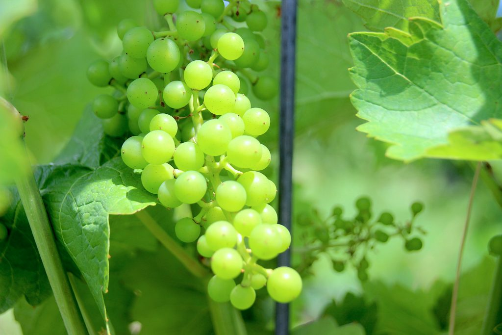 Mid season grapes, Benjamin Bridge