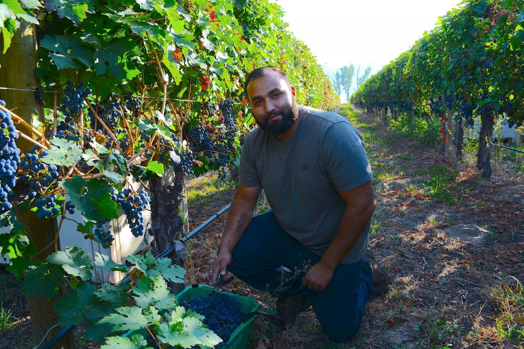 lakeside-cellars-ricky-dhaliwal-cabernet-sauvignon-grapes