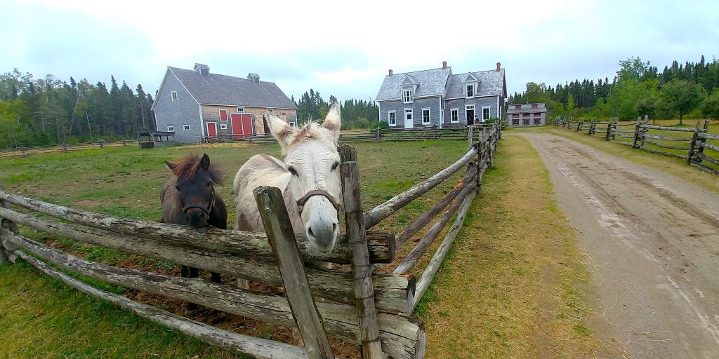 New Brunswick_Acadia_Farm Horses