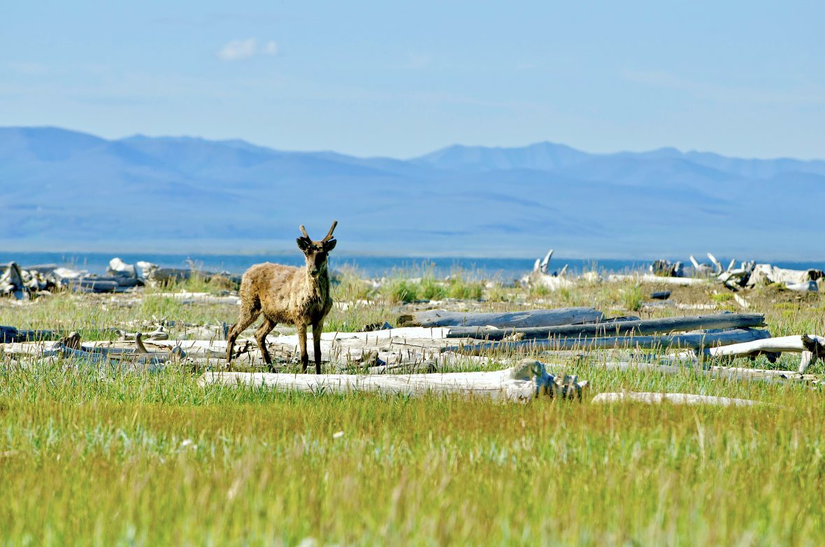 caribou-Herschel-Island-Yukon