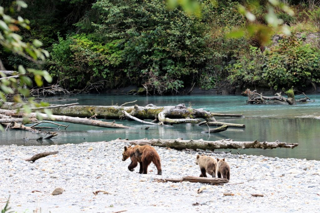 grizzly bears in toba inlet