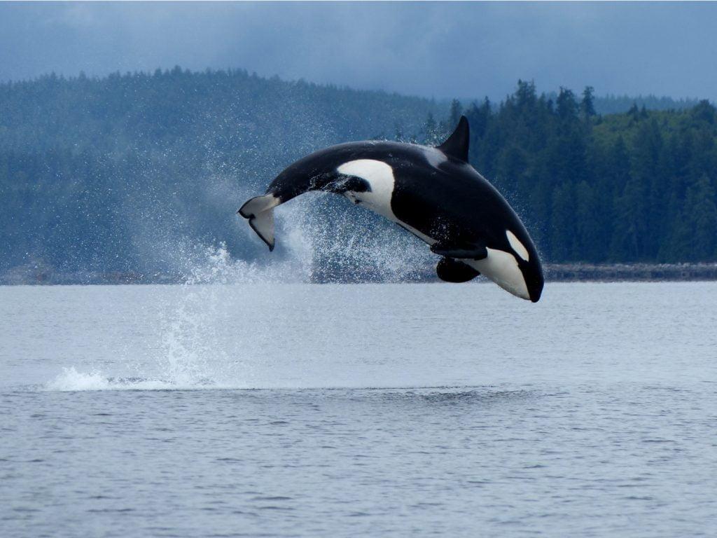 orca breaching in british columbia
